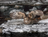 25 SPS Ribbon-Blackiston's Fish Owl-George Reekie DPAGB ABPE-DPAGB ABPE- England