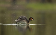 28 SPS Ribbon-Great Crested Grebe Clearing Water Off Feathers-Francesca Bramall-- England