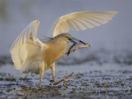 29 SPS Ribbon-Squacco Heron with Catch-Tim Downton ARPS DPAGB-ARPS DPAGB- England