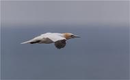 commended-gannet soaring-andy fryer