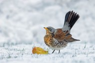 fiap ribbon-ferrari_gianpiero_winter fieldfare_55_1
