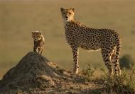 fiap silver medal-alert cheetah mother-ian whiston dpagb efiapb abpe-england