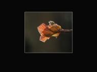 first-beech leaves emerging-cheryl leyser