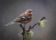 first-chaffinch in the rain-john moore