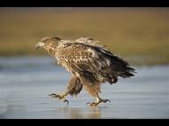 gpu gold medal-white tailed eagle on ice-john chamberlin frps mfiap-england