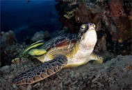gpu ribbo-_keep_david_ps_green turtle with attending remora sucker fish_168