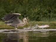 gpu ribbon-trout escapes-keith thorburn lrps afiap cpagb-scotland