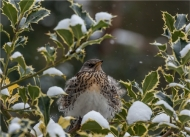 highly commended-ruffled fieldfare-alison j fryer