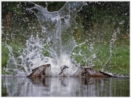 pagb ribbon-osprey splashdown-bill terrance efiapp dpagb-scotland