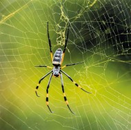 psa bronze golden orb spider