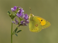 psa ribbon-clouded yellow on alfalfa-francesca bramall-england