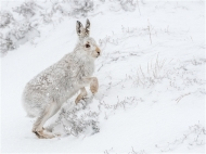 psa ribbon-mountain hare in snow-paul carter lrps cpagb bpe2-england