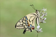 sps gold- swallowtail on lavender yealand kalfayan