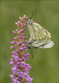 sps ribbon-blackveined whites mating in the rain-lesley simpson arps efiap dpagb-scotland