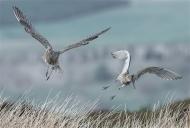 sps ribbon-curlews in flight-paul carter lrps cpagb bpe2-england