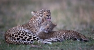 sps ribbon-leopard and cub showing affection-austin thomas fbpe efiap mpagb-england