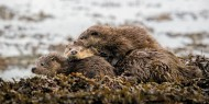 sps ribbon otter mother and cubs