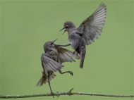 sps ribbon-starling fight-phillip barber-england