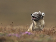 sps silver medal-arctic fox sitting on the tundra-nigel spencer arps efiap dpagb-england