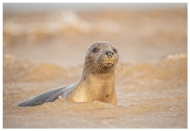 Commended-East Coast Seal-Philippa Wheatcroft