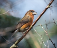 Commended-Male Crossbill-David Myles