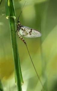 Highly Commended-Mayfly-David Myles