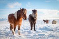 Commended-Ponies in the Snow-Sandra Starke