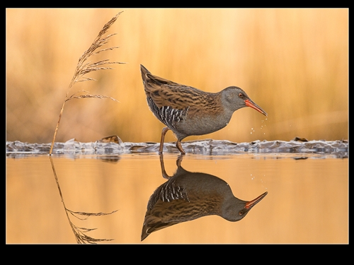 First-Water Rail 0851-Philippa Wheatcroft